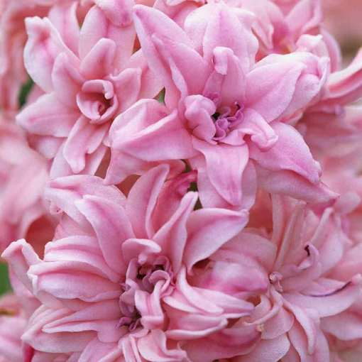 Hyacinth Rosette (Double)