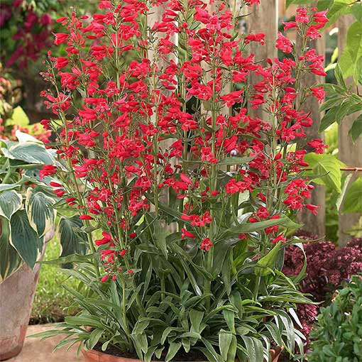 Penstemon Red Riding Hood