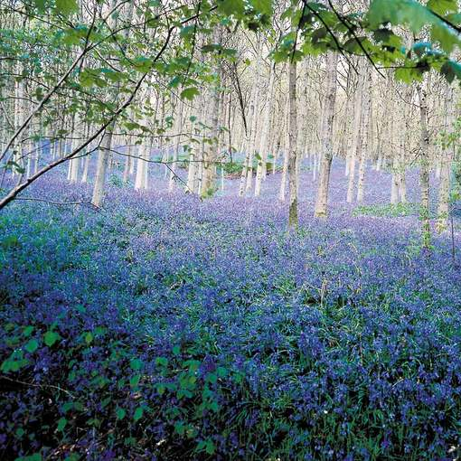 Bluebells in the Green