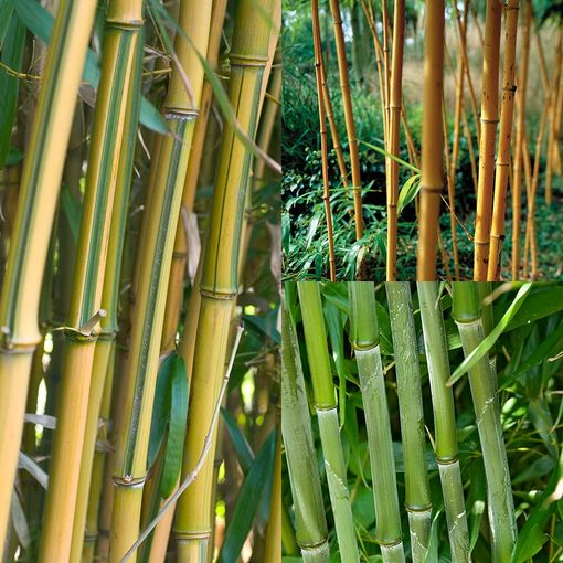 Bamboo - Collection (Phyllostachys)
