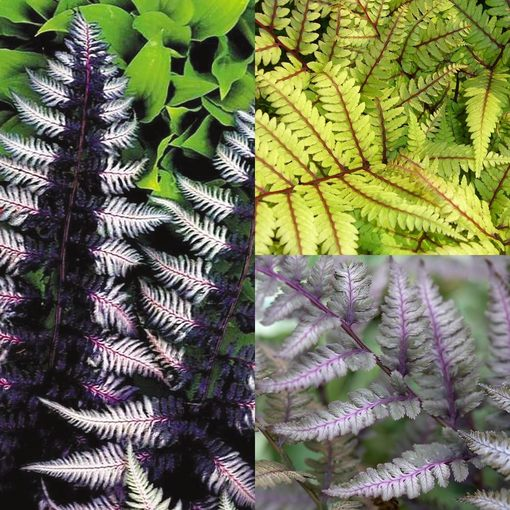 Athyrium Collection (Exotic Ferns)