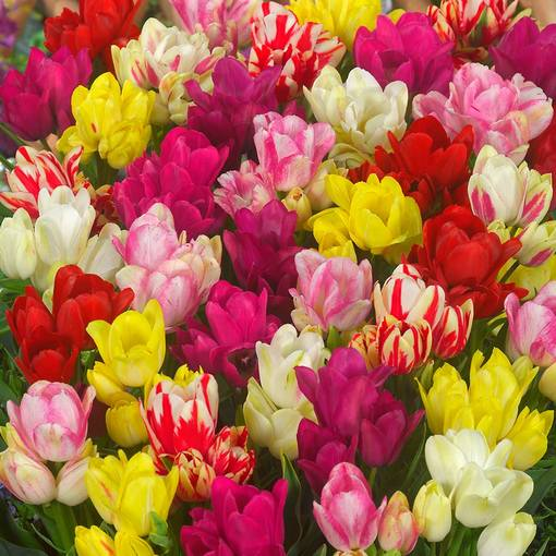 Tulip Multi Flowered Mixed 11/12cm