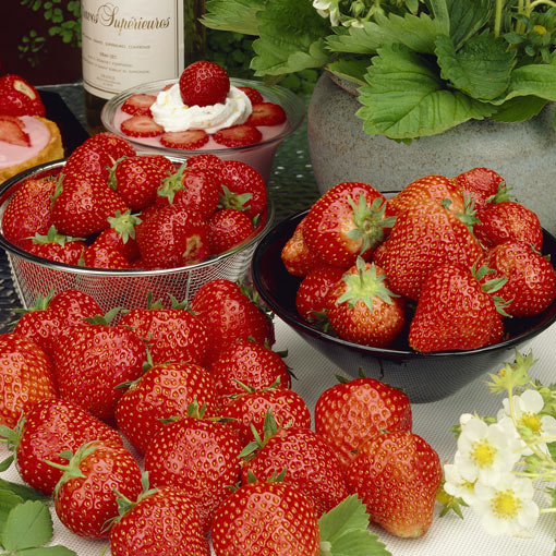 Sixty Day Strawberry Plants