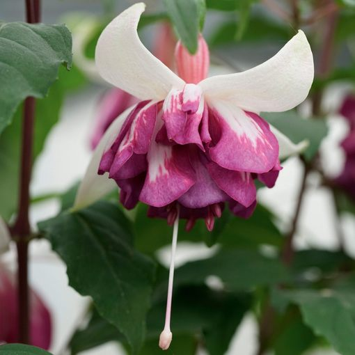 Fuchsia Giant Marbeller Flying Scotsman Trailing