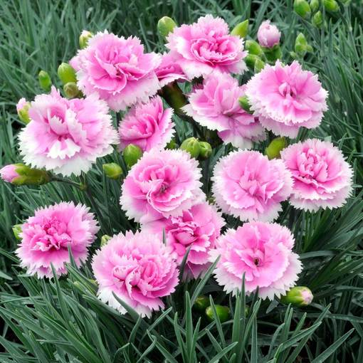 Dianthus Scent First Iced Gem