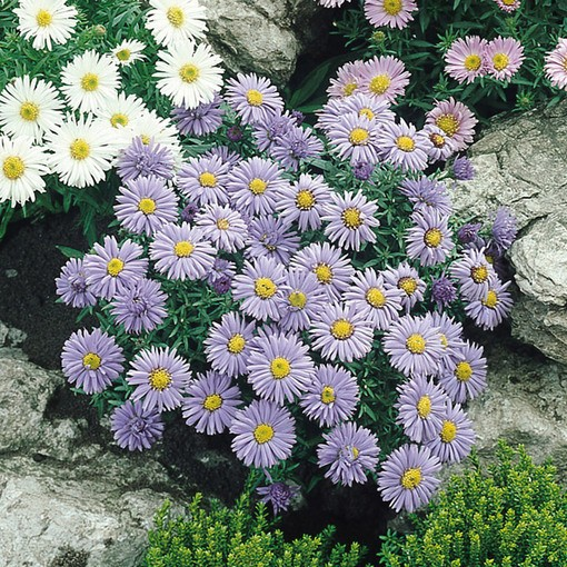 Aster Alpinus Dark Beauty