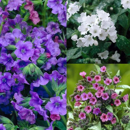 Pulmonaria Collection