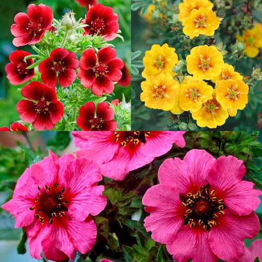 Potentilla Collection
