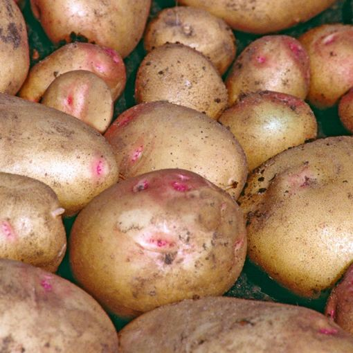 Potato Cara (Main Crop)