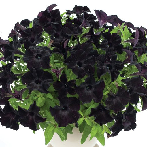 Petunia Back to Black