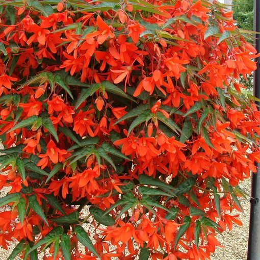 Begonia Firewings Orange