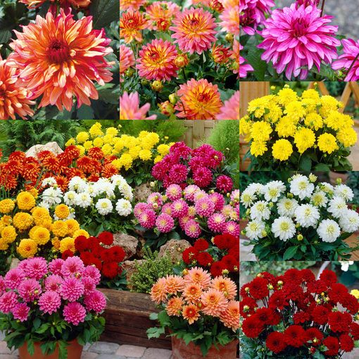 Dahlia Dwarf Gallery Collection (Tubers)