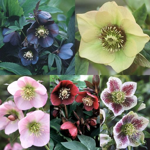 Single Lady Helleborus