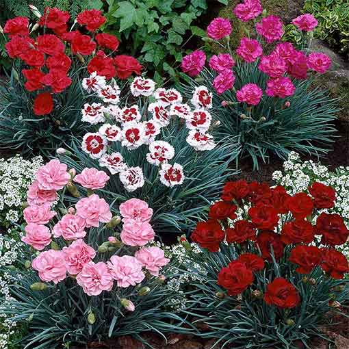 Dianthus Hardy Cottage Mixed
