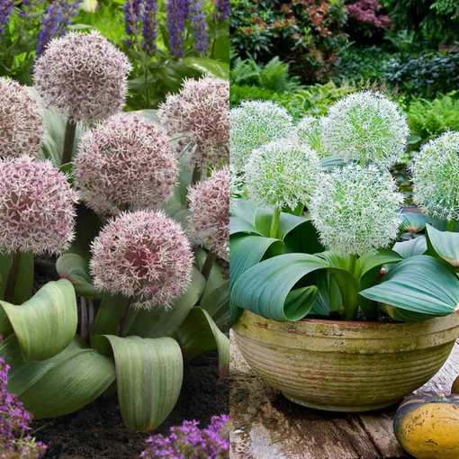 Allium Karataviense Collection