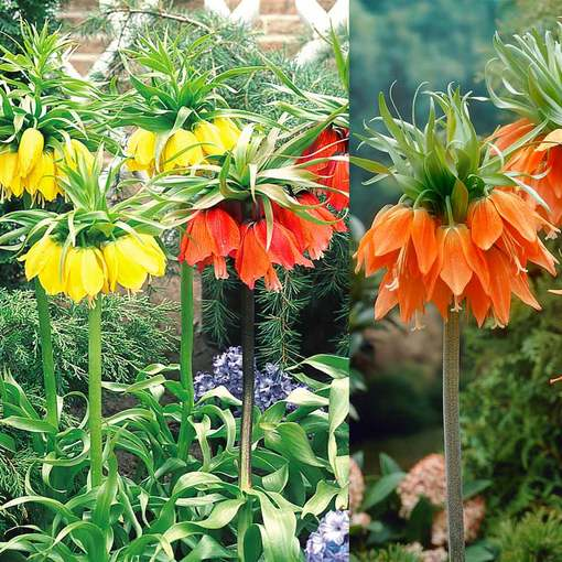 Fritillaria Collection