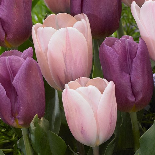 Tulip Sweet Love
