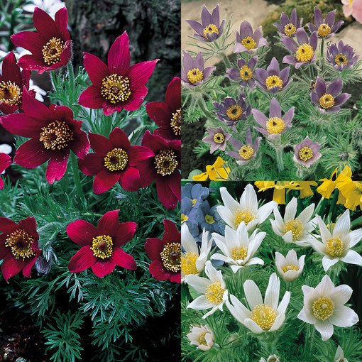 Pulsatilla Collection