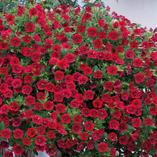 Calibrachoa Double Can Can Red