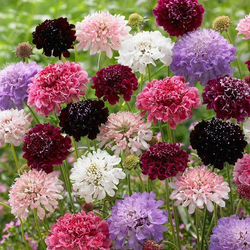 Scabiosa Double Pincushion Mixed