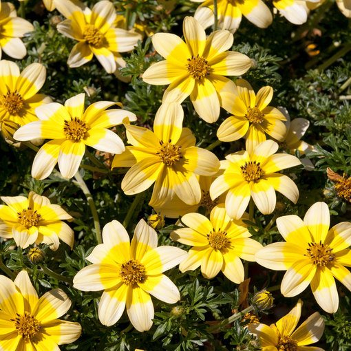 Bidens Golden Eye