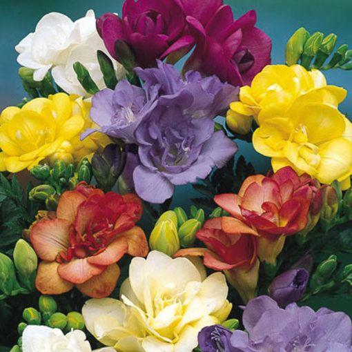 Freesia Giant Double Collection