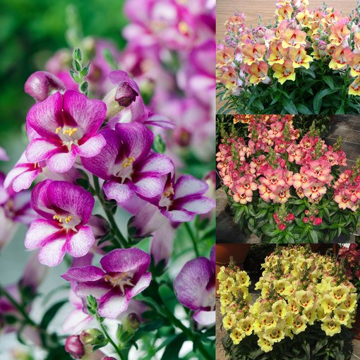 Antirrhinum Antirinca Collection