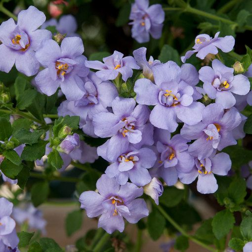 Bacopa Scopia Double Blue