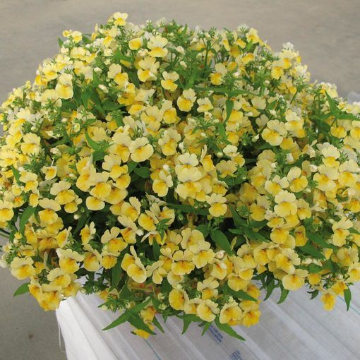 Nemesia Lyric Yellow
