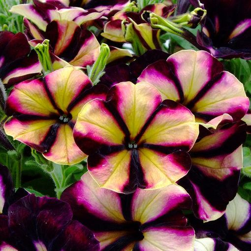 Petunia Crazytunia Pulse