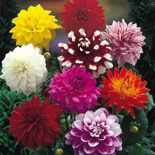 Decorative Dahlias Mixed