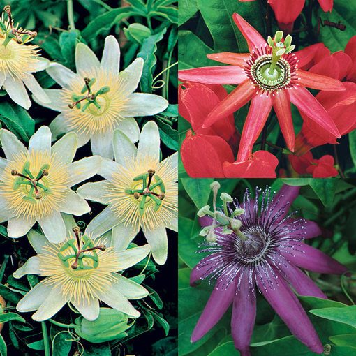 Passiflora Collection