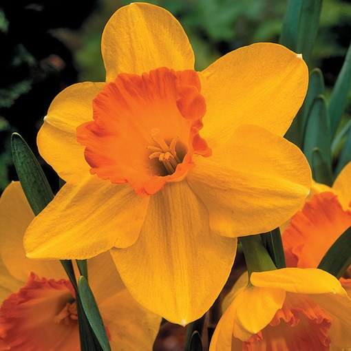 Daffodil Delibes