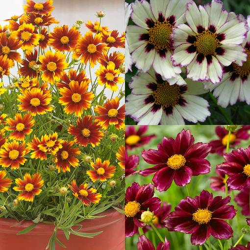 Hardy Coreopsis Collection