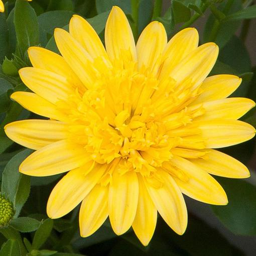 Osteospermum 3D Yellow