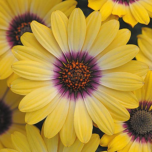 Osteospermum Serenity Blue Eyed Beauty