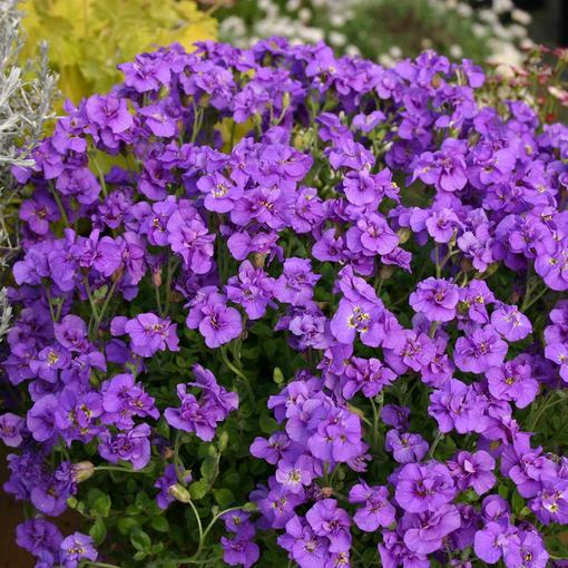 Aubrieta Blue Beauty