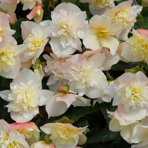 Begonia Northern Lights Lemon