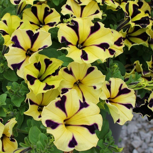 Petunia Yellow Purple Touch