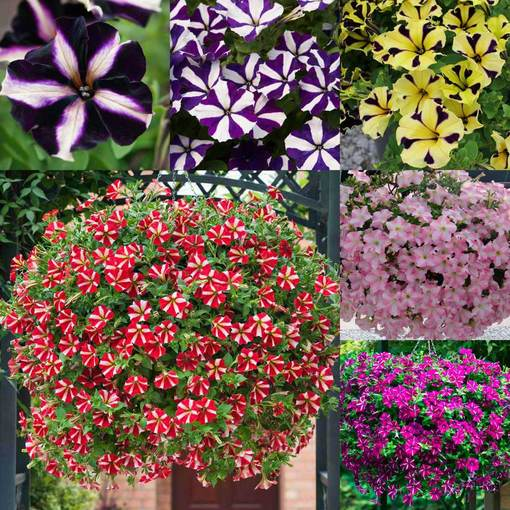 Petunia Super Star Collection