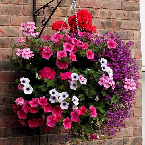 Hanging Basket Plants Mixed