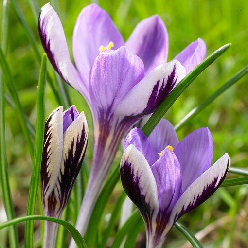 Crocus chrysanthus Spring Beauty