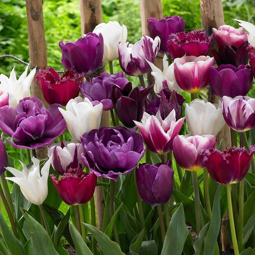 Tulip Purple Blend Mixed