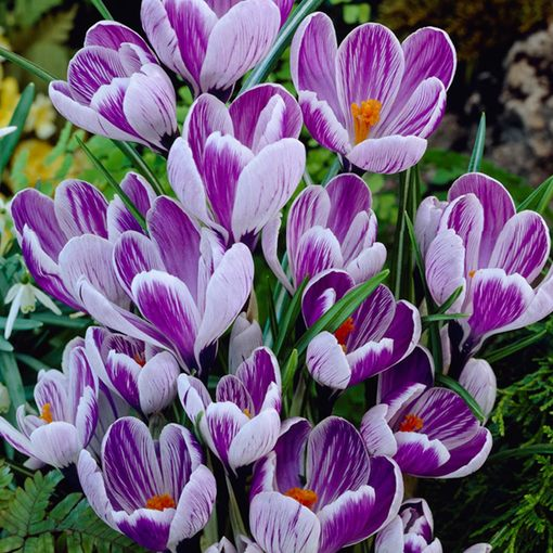 Crocus King of the Striped