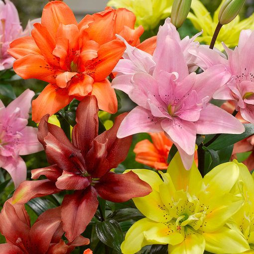 Lily Double Asiatic Mixed