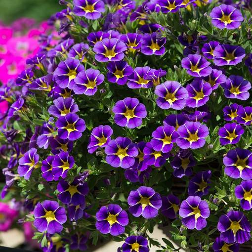 Calibrachoa Starlight Blue