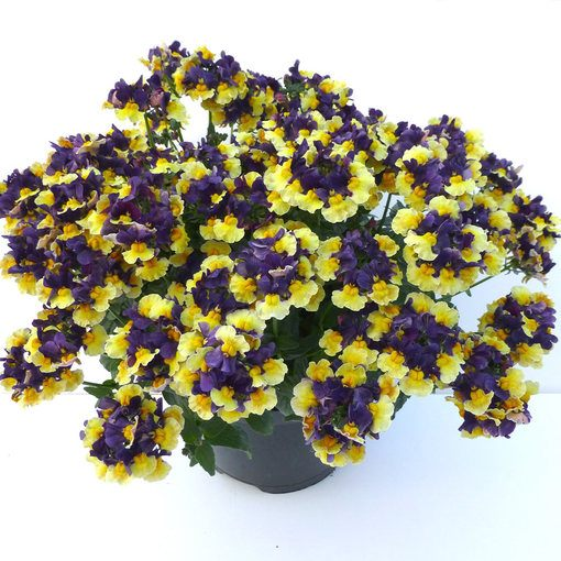 Nemesia Aroma Plums and Custard