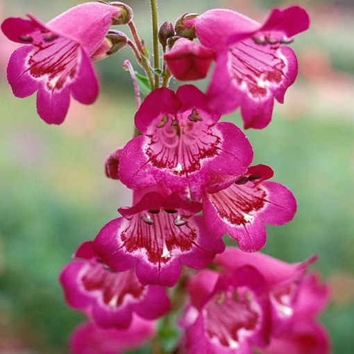 Penstemon Pensham Just Jayne