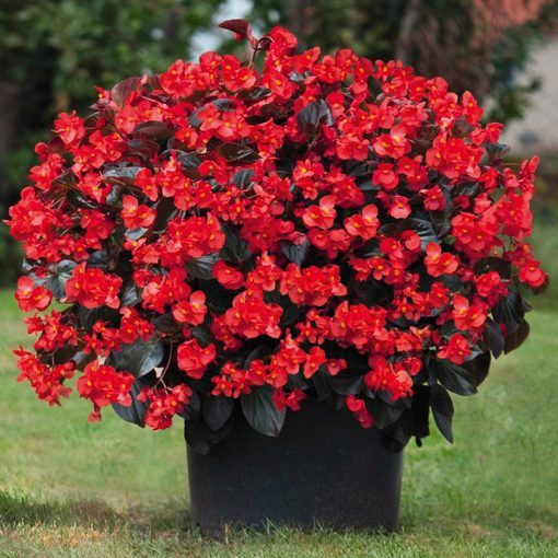 Begonia Big Deluxxe Red Bronze