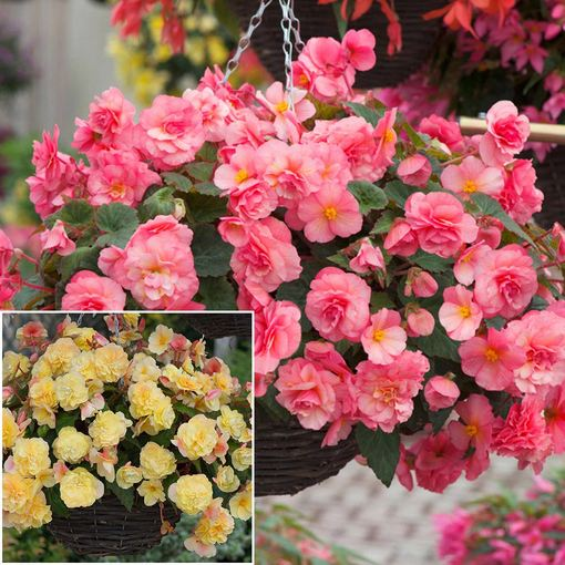 Begonia Sweet Spice Collection